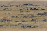 Grant's Zebras and Wildebeests, Kenya Photographic Print by Mint Images/ Art Wolfe
