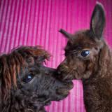 Alpacas Fotografisk tryk af TC Morgan Photography