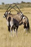 Gemsboks, Kalahari Desert, Botswana. Photographic Print by Michele Westmorland