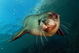 Sea Lion Photographic Print by Rory T B Moore Images