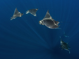 Group of Mobula Ray Photographic Print by Luis Javier Sandoval