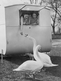 Surrey Swans Photographic Print by Fox Photos