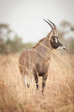 A Roan Antelope, One of the Largest Antelope, Roams in Waza National Park, in the North of Cameroon Photographic Print by Cultura Travel/Philip Lee Harvey