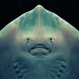 Stingray Photographic Print by Con Ryan