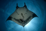 Manta Ray of Revillagigedo Photographic Print by Luis Javier Sandoval