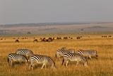 Burchell's Zebras and Wildebeest Herd at Sunrise Photographic Print by Adam Jones