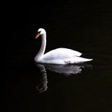 White Swan Photographic Print by Josselin Dupont