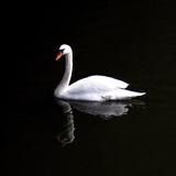 White Swan Impressão fotográfica por Josselin Dupont