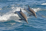 Common Dolphins Leaping Photographic Print by Tim Melling