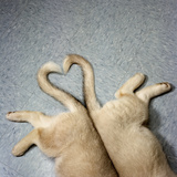 Two Puppy Tails in Heart Shape Photographic Print by GK Hart/Vikki Hart
