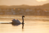 Mute Swan Displaying on Bavarian Lake Fotografiskt tryck av Olaf Broders