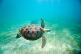 Green Sea Turtle Photographic Print by M Sweet
