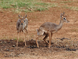 Kirk's Dik-Dik Couple Photographic Print by Achim Mittler, Frankfurt am Main