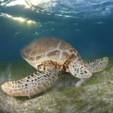 Green Sea Turtle Reprodukcja zdjęcia autor Luis Javier Sandoval