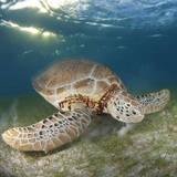 Green Sea Turtle Photographic Print by Luis Javier Sandoval