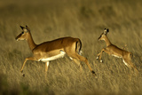 Female Impala Running with Her Baby Photographic Print by Manoj Shah