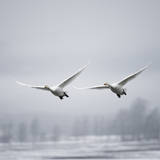 Whooper Swan (Cygnus Cygnus) Photographic Print by Roine Magnusson