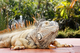 Iguana Photographic Print by Showing the world ..