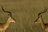 Male Impalas Photographic Print by Manoj Shah