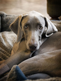 Weimaraner Photographic Print by Kevin Sherman