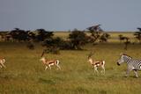 Grant's Gazelles and Zebra in Afternoon Lighting Photographic Print by Achim Mittler, Frankfurt am Main