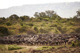 Wildabeasts and Zebras in Masai Mara Photographic Print by Cavan Images