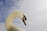 Mute Swan Photographic Print by David Tipling