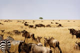 Wildebeest and Zebras in a Vast Field Photographic Print by Cavan Images