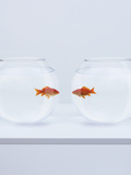 Goldfish in Separate Fishbowls Looking Face to Face Photographic Print by Adam Gault