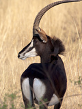 Sable Antelope Photographic Print by Thomas Retterath