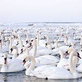 Massive Amount of Swans in Winter Photographic Print by Mait Juriado photo