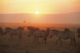 Common Zebras on the Move at Sunset and Wildebees Photographic Print by James Warwick