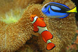 Clownfish and Regal Tang Photographic Print by Aamir Yunus