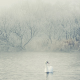 Swan in Fog Photographic Print by Samantha Nicol Art Photography