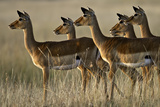 Impalas Alert Photographic Print by Manoj Shah