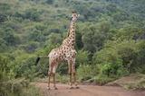 Giraffe, Giraffa Camelopardalis Photographic Print by Juergen Ritterbach