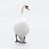 Beautiful Swan on Ice Photographic Print by  BlackCatPhotos
