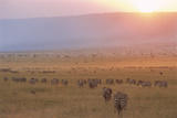 Common Zebras and Wildebeest at Sunset Photographic Print by James Warwick