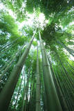 Bamboo Forest Photographic Print by  Multi-bits