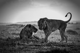 Young Male African Lions Greeting Fotografisk tryk af Mike Hill