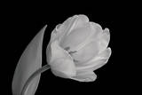 Back and White Image of Tulip Photographic Print by Russell Illig