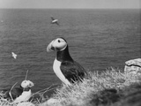 Puffin Island Photographic Print by Central Press