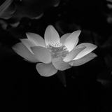 Lotus Flower Photographic Print by Jimmy Tsang