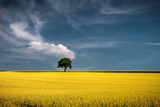 Lonely Tree in Rapeseed Field Photographic Print by Andreas Wonisch