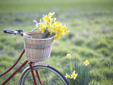 Freshly Picked Daffodils in a Bicycle Front Basket Lámina fotográfica por Dougal Waters