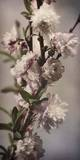 Blossoming Almond 1 Posters by Julie Greenwood