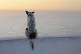 Dog, Oia, Santorini Island, Cyclades Islands, Greek Islands, Greece Photographic Print by Martin Ruegner