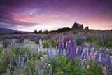 Summer Lupins at Sunrise at Lake Tekapo, NZ Fotografisk tryk af Atan Chua
