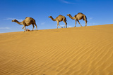 Camels Walking on Sand Dunes Photographic Print by Saudi Desert Photos by TARIQ-M