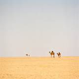 Group of Camels, Sahara Desert, Libya Photographic Print by Cultura Travel/Philip Lee Harvey
